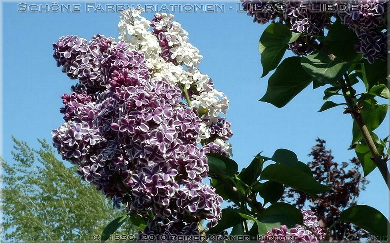 legen Sie sich einen schöneren Garten mit Flieder an, es lohnt sich!