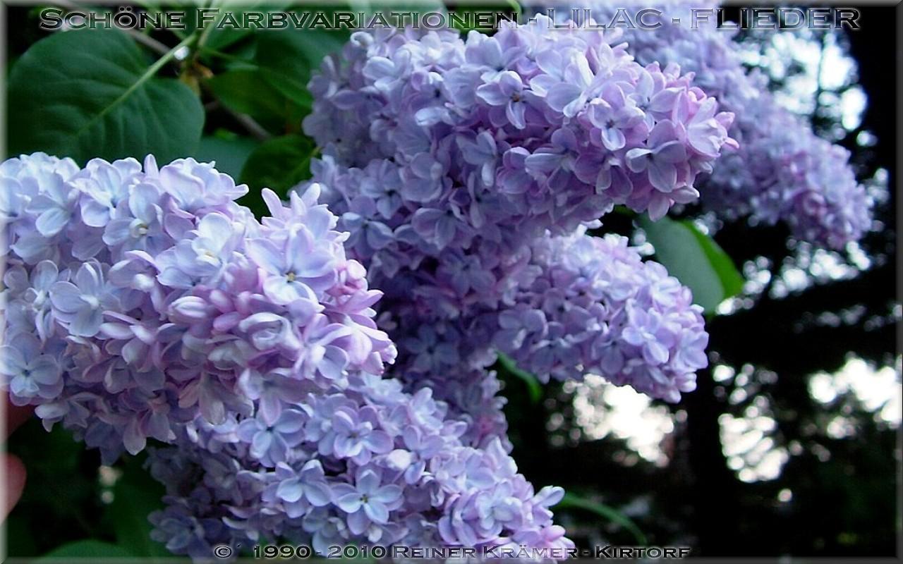 legen Sie sich einen sch�neren Garten mit Flieder an, es lohnt sich!