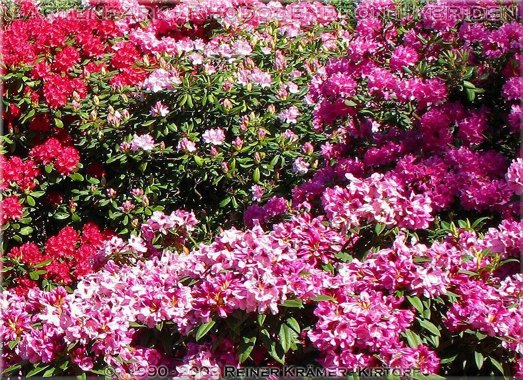 legen Sie sich einen sch��neren Garten mit Rhododendren und Azaleen an, es lohnt sich!